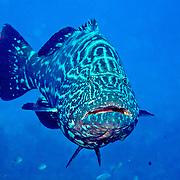 Black Grouper inhabit reefs in Tropical West Atlantic; picture taken Roatan, Honduras.