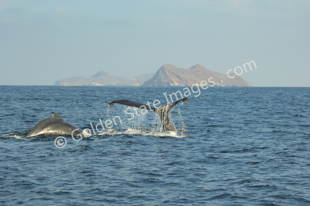 Mother and calf dive in front of the Coronado Islands. <br /> <br /> As with many of the large baleen whales the Humpback was hunted to near extinction before a whaling moratorium was introduced in the mid nineteen sixties.  <br /> <br /> Humpbacks are rarely seen off the Southern California coast. <br /> <br /> Range: Can be found nearly worldwide. In the Pacific from the Bering Sea to Southern Mexico and Hawaii. <br /> <br /> Species: Megaptera novaeangliae