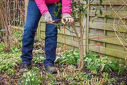 Putting in metal plant supports for perennials - Phlox paniculata 'Balmoral'