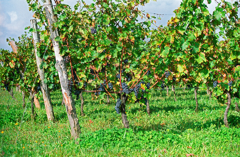 Vines - bunches of grapes ripe merlot on a vine with leaves leaf in Bergerac near Bordeaux. Vine trained pruned in Guyot double Bordeaux Gironde Aquitaine France Europe