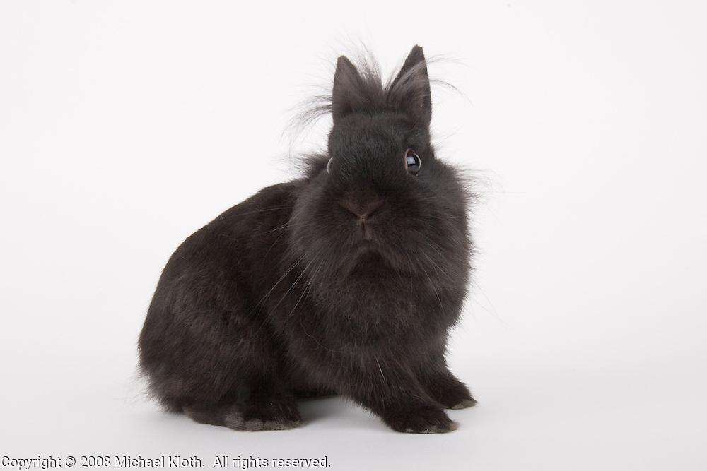 rabbit, rodent, studio portrait