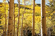 Lockett Meadow, fall color, yellow aspens, San Francisco Peaks, Coconino National Forest, AZ