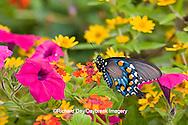 03004-00919 Pipevine Swallowtail (Battus philenor) on Red Spread Lantana (Lantana camara) in butterfly garden, Marion Co.  IL