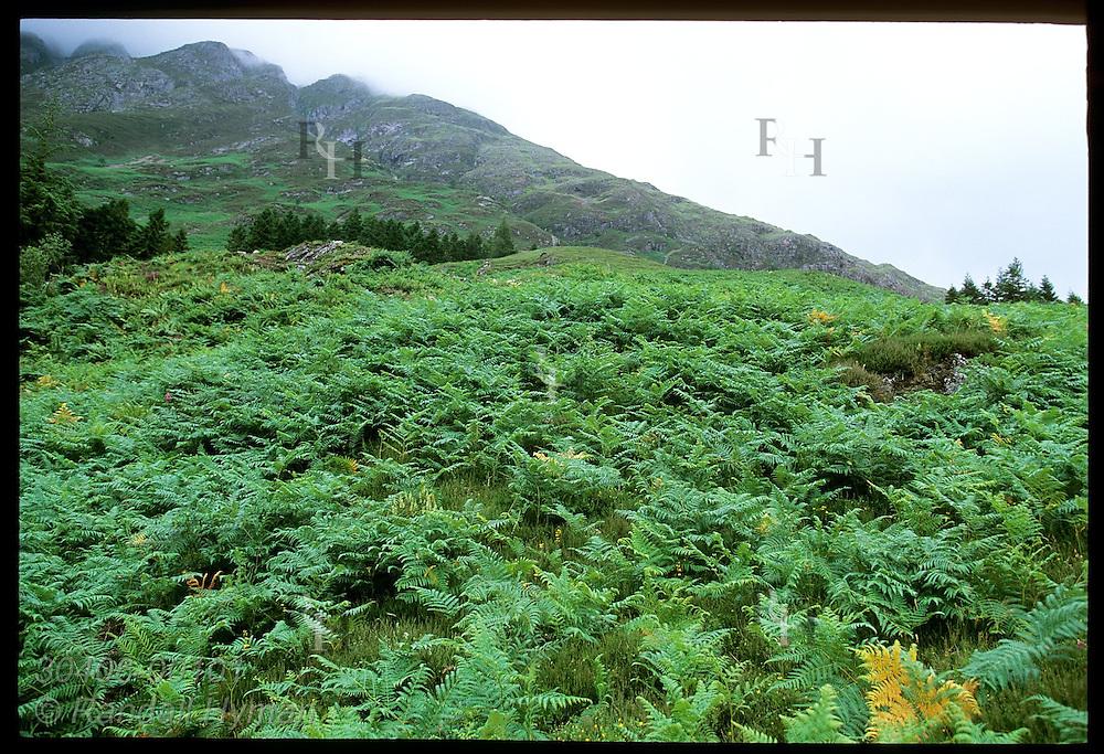 Ferns carpet lush hills of Clachaig Gulley, Harry Potter's Prisoner of Azkaban movie film site for Hagrid's Hut; Glencoe, Scotland.