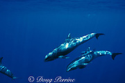 melon-headed whales, Peponocephala electra, Layang Layang Atoll off Borneo, Malaysia ( South China Sea )