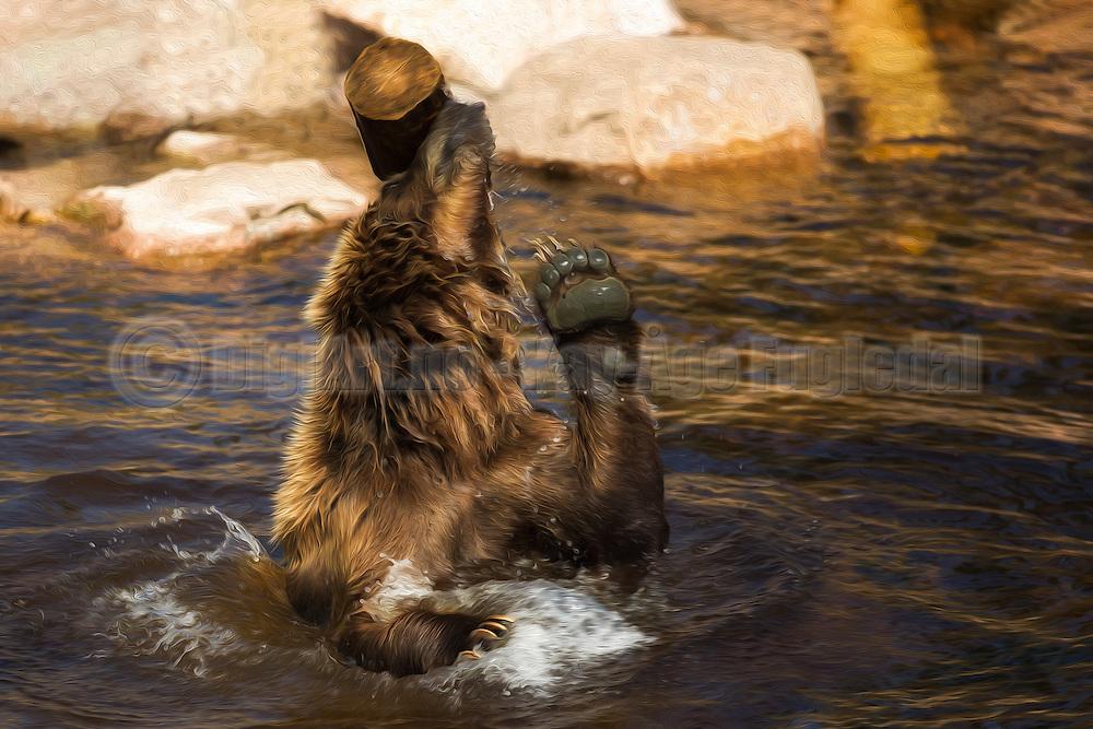 The brown bear (Ursus arctos) is the most common bear in the world. Adult bears generally weigh between 100 and 635 kg. This picture is captured at Orsa Animalpark, Sweeden. I have added gentle paint effect in PhotoShop | Brunbjørnen er den mest vanlige bjørnearten i verden, og en voksen bjørn veier typisk mellom 100 og 635 kg. Dette bildet er tatt i Orsa Bjørnepark i Sverige. Jeg har lagt til en anelse maleri effekt i Photoshop.