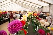 Harrogate Flower Show, North Yorkshire, England, UK. The Plant Pavilion is full of every variety of flowering plant you can think of, with blooms of all shapes, sizes and colours. Dahlia blooms.