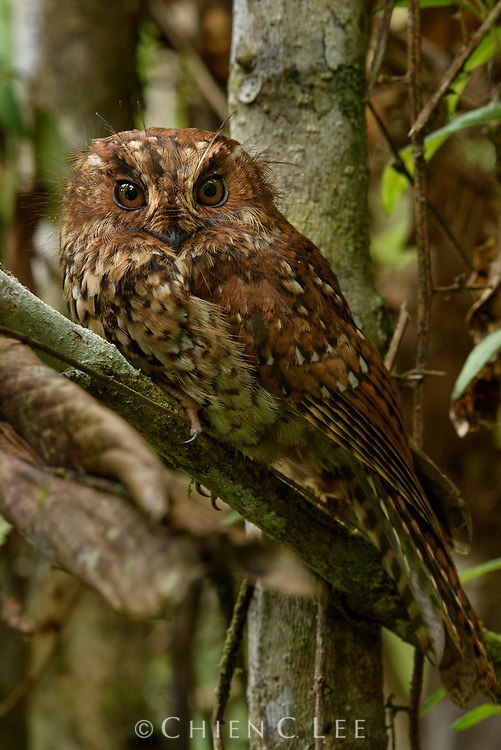 Endemic to the mossy cloud forests of Papua, a Mountain Owlet-nightjar (Aegotheles albertisi) rests by the day in a thicket of vegetation. Biologists once believed that these strange cryptic birds (family Aegothelidae) were close relatives of the frogmouths due to their similar appearance and habits. Studies of their skulls has revealed that they are in fact more closely related to hummingbirds and swifts. Almost the entire family (7 of 10 species) is restricted to New Guinea. Arfak Mountains, West Papua, Indonesia.