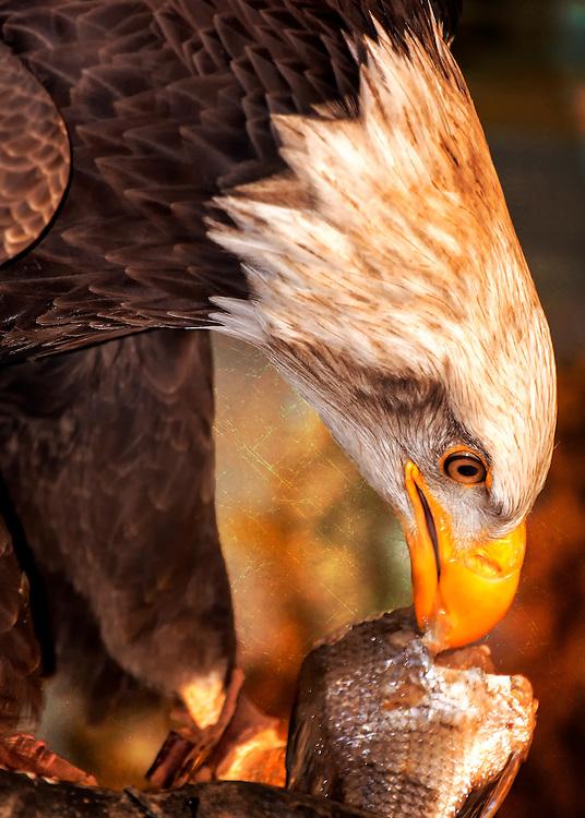 A Bald Eagle Eats on A Fresh Caught Fish
