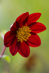 Backlit species dahlia