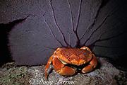 coral crab or batwing coral crab,<br /> Carpilius corallinus, <br /> Key Largo, Florida Keys National Marine Sanctuary<br /> ( Western Atlantic Ocean )