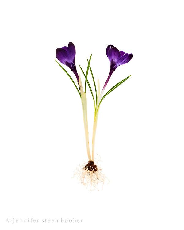 Deep purple Crocus, possibly 'Twilight'