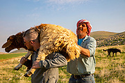 A buyer loads a sheep on his shoulders as he carries the sheep of to slaughter. A Palestinian shepherd with his herd of sheep in the Jordan River Valley, The Jordan Rift Valley, also Jordan Valley also called the Syro-African Depression, is an elongated depression located in modern-day Israel, Jordan, and Palestine. This geographic region includes the entire length of the Jordan River – from its sources, through the Hula Valley, the Korazim block, the Sea of Galilee, the (Lower) Jordan Valley, all the way to the Dead Sea,