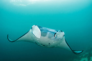Manta Ray (Manta birostris)<br /> Raja Ampat<br /> West Papua<br /> Indonesia