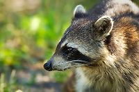 Close-up of a raccoon on Sanibel Island.
