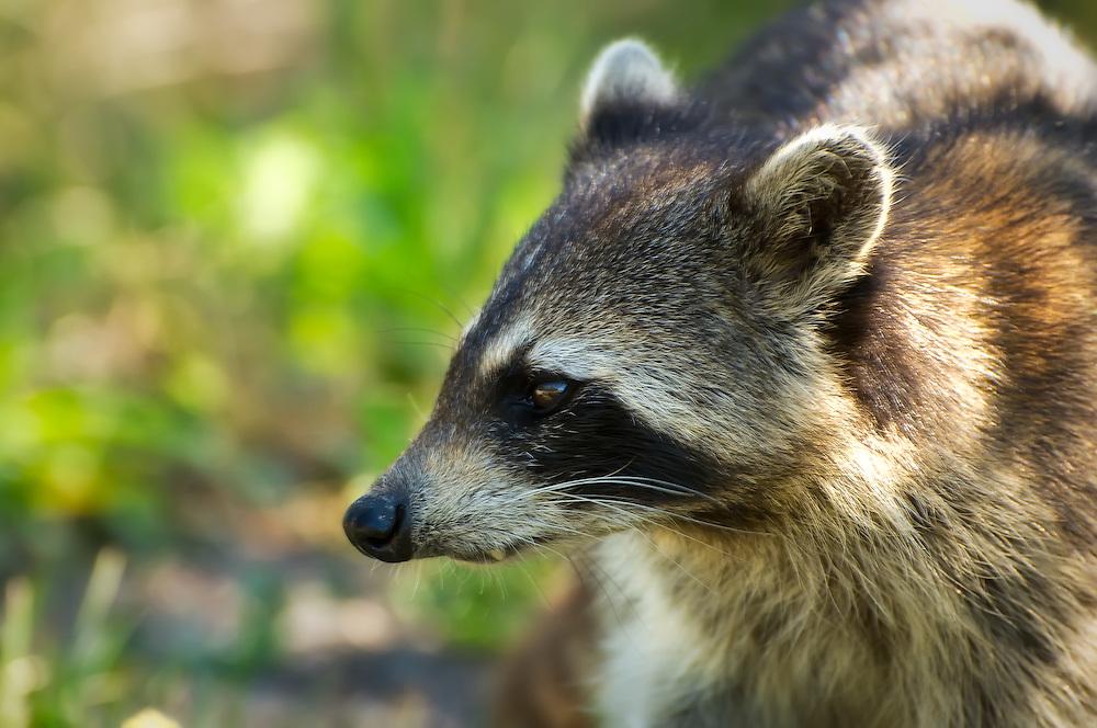 Close-up of a raccoon on Sanibel Island.