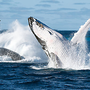 Three adult whale breaching together