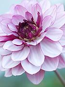 Dahlia 'Hugs and Kisses' - decorative dahlia