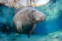 Florida manatee, Trichechus manatus latirostris, a subspecies of the West Indian manatee, endangered. An adult manatee rises for a breath while warming itself in the spring water and rainbow sun rays. Fish, bream, Lepomis spp., are present. Peaceful, natural, undistrubed scene. Horizontal orientation with blue spring water, sun rays and reflection. Three Sisters Springs, Crystal River National Wildlife Refuge, Kings Bay, Crystal River, Citrus County, Florida USA.