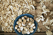 Three varieties of mushrooms for sale at Hua Kua evening market on the outskirts of Vientiane, Lao PDR. A large variety of local products are available for sale in fresh markets all over Laos, all being sold on small individual stalls.