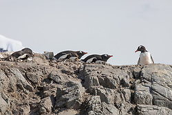 Gentoo Penguins Nesting At The Penguin Post Office, Port Lockroy, Antarctica