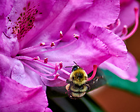 Bumble bee working a rhododendron flower. Backyard spring in New Jersey. Image taken with a Nikon D810A camera and 105 mm f/2.8 VR macro lens (ISO 200, 105 mm, f/6.3, 1/160 sec).