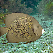 Gray Angelfish inhabit shallow patch reefs and surround areas in Tropical West Atlantic; picture taken Key Largo, FL.