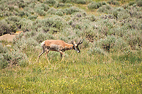 This male pronghorn in Central Wyoming belongs to the last surviving member of the Antilocapridae family in North America. Known as the fastest land animal in the Western Hemisphere, they are believed to have evolved such speeds to evade now extinct predators.