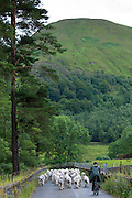 Herdwick sheep with shepherd by Westhead Farm by Thirlmere in the Lake District National Park, Cumbria, UK