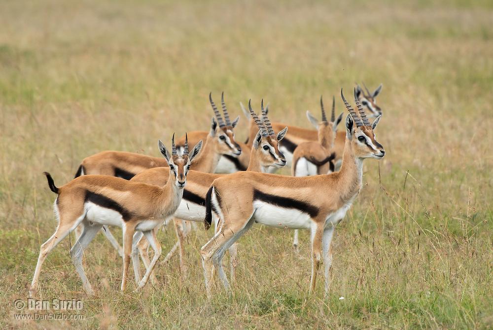 Seven Thomson's Gazelles, Eudorcas thomsonii, in Maasai Mara National Reserve, Kenya