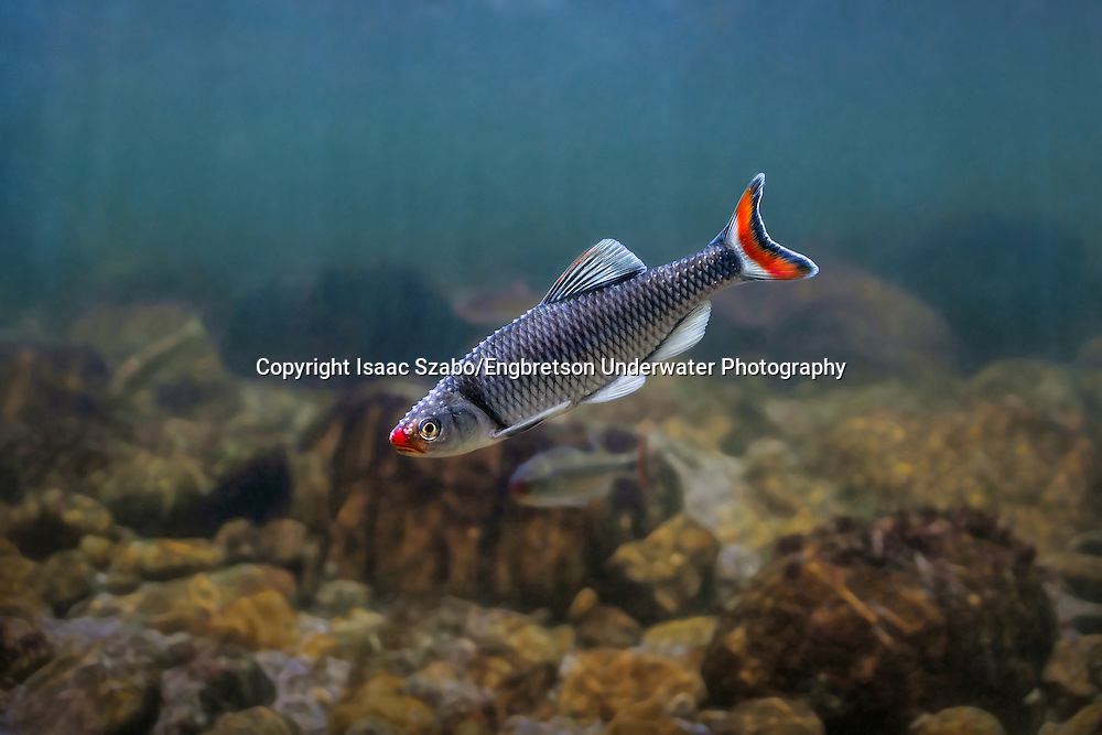 Fieryblack Shiner<br /> <br /> Isaac Szabo/Engbretson Underwater Photography