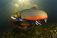 Brook Trout<br /> <br /> Sean Landsman/Engbretson Underwater Photography