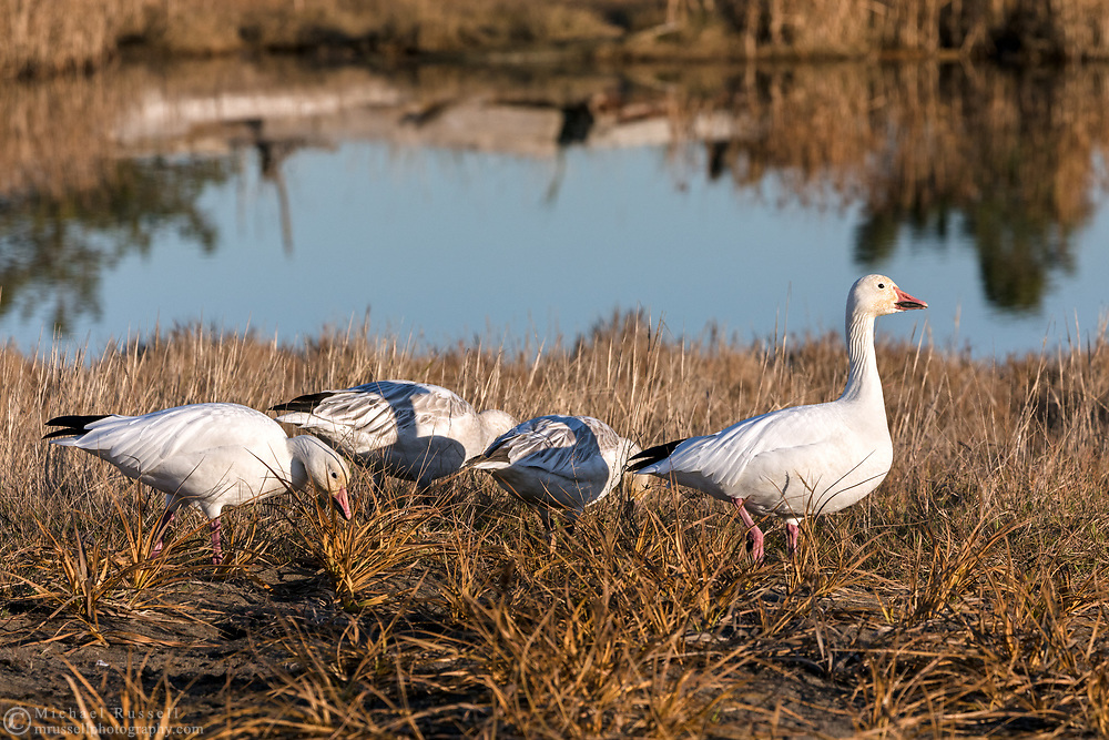 A family group of Snow Geese (Anser caerulescens) feeding at Iona Beach Regional Park in Richmond, British Columbia, Canada.  Delta and Richmond fields and wetlands are often a stop over for the Snow Geese as they migrate from their summer breeding grounds to warmer winter habitat.