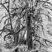 Giants in The Ferns - Upper Queets Valley - Olympic National Park - Infrared Black & White
