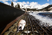A trout lies dead on a metal grate draining water through a retention dam at Lake Irwin, Gunnison National Forest, Colorado.