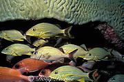 bluestripe grunts, Haemulon sciurus, and squirrelfish, Holocentrus adscensionis, sheltering under giant brain coral, Colpophyllia natans, Tavernier, Key Largo, Florida ( Western Atlantic Ocean )