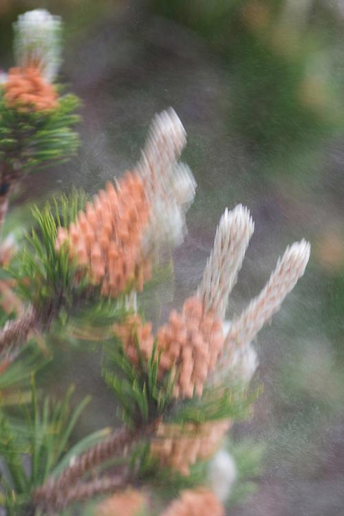 Pine tree  flower pollen (Pinus insularis ) Lithuania