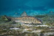 Spotted Sucker, Underwater