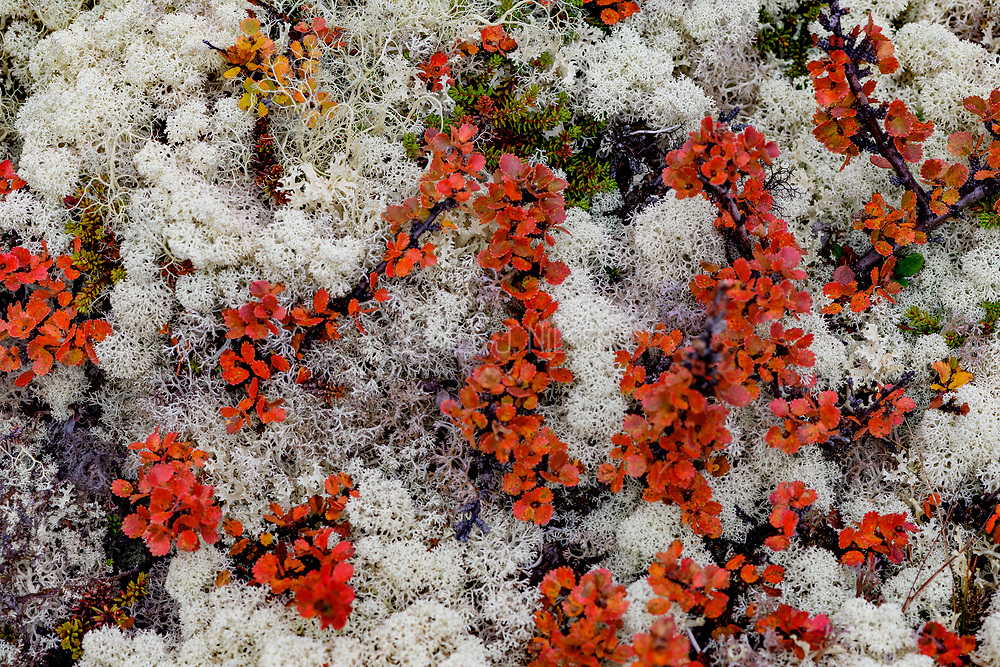 Star-tipped cup lichen (Cladonia stellaris) growing together with dwarf birch (Betula nana) at Dovrefjell (Dovre, Innlandet, Norway) in September.