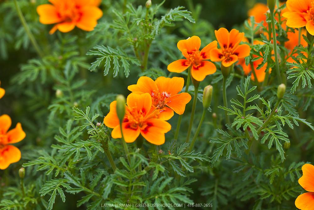 The edible flowers of Tangerine Gem Signet marigold (Tagetes tenuifolia 'Tangerine Gem')