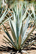 A young blue agave plant, the source for tequila, growing at La Cofradia tequila distillery in Tequila, Mexico. Jalisco, Mexico.