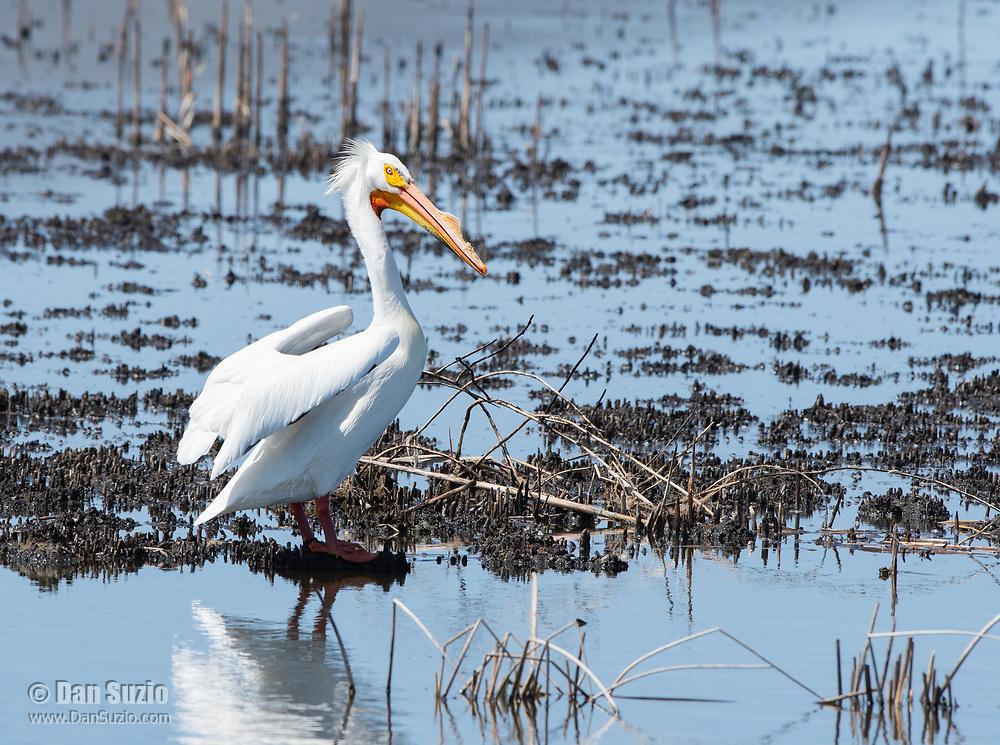American White Pelican, Pelecanus erythrorhynchos, at Tule Lake National Wildlife Refuge, Oregon