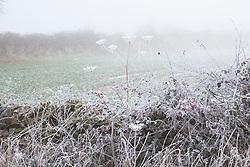 Frosty laneside in winter with Hogweed seedheads and hawthorn berries. Heracleum sphondylium, Crataegus monogyna