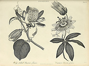 Illustration of a Blossom of a Passion Fruit plant (granadilla or Passiflora edulis) Copperplate engraving From the Encyclopaedia Londinensis or, Universal dictionary of arts, sciences, and literature; Volume XVIII;  Edited by Wilkes, John. Published in London in 1821