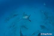 bull shark, Carcharhinus leucas, female in seasonal breeding aggregation rises off bottom to investigate photographer, Playa del Carmen, Cancun, Quintana Roo, Yucatan Peninsula, Mexico ( Caribbean Sea )
