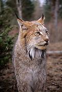 Portrait of a lynx (Felis lynx). Montana.