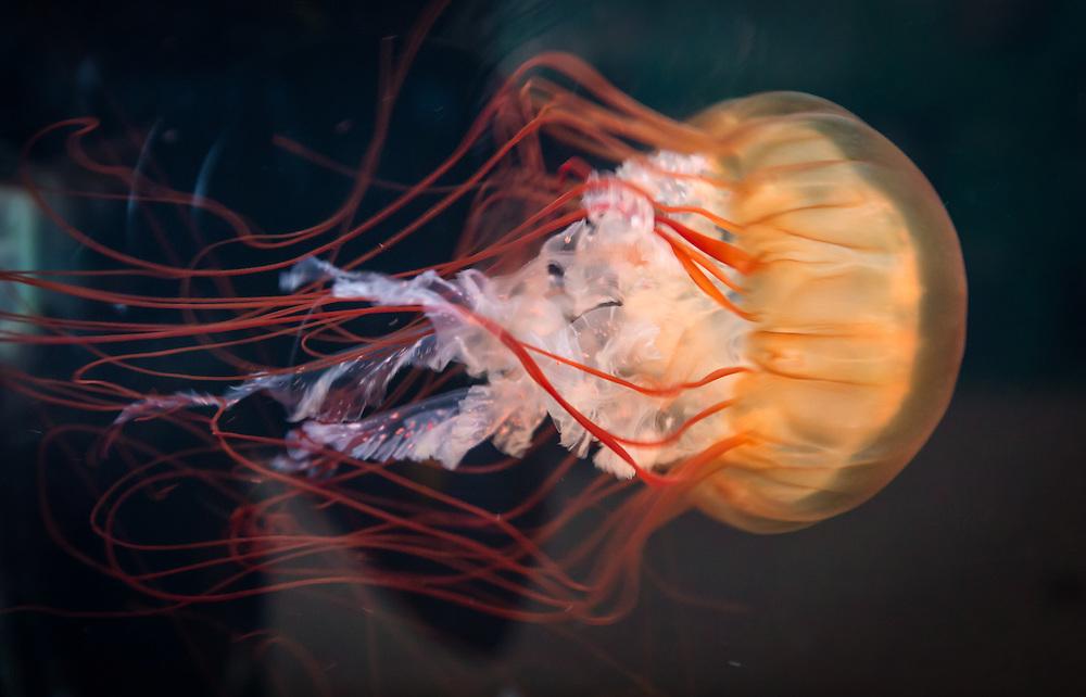 A preserved jellyfish on display at the Cabrillo Marine Aqurium in San Pedro, CA.