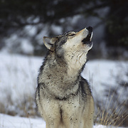 Gray Wolf (Canis lupus) howling in the snowy timber of the Rocky Mountains, Montana. Captive Animal