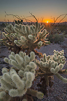 Sunset over the Sonoran Desert of Kofa National Wildlife Refuge Arizona, Teddy Bear Cholla (Opuntia bigelovii)  in the foreground