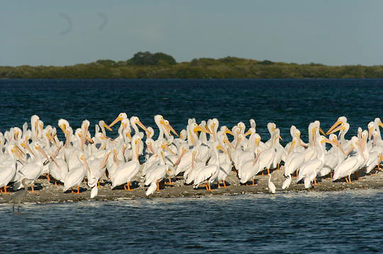 American White Pelican (Pelecanus erythrorhynchos) Flock resting on sandy beach. Breeding plumage. Near Boca Grande, Florida.